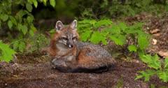 Gray (Grey)Fox lying alert in woods