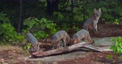 Gray (Grey)Fox mother alert and kits eating