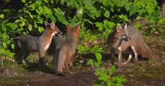 Gray (Grey)Fox mother and kits eating