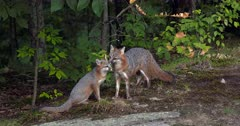Gray (Grey)Fox mother licking older kit