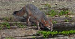 Gray (Grey)Fox older kit drinking at pool of water