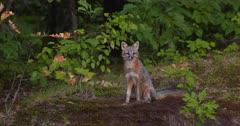 Gray (Grey)Fox (male) alert in woods