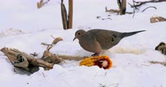 Mourning Dove eating corn from cob