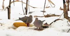 Mourning Doves eating corn from cob