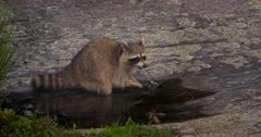 Raccoon eating crayfish in pool of water at dusk