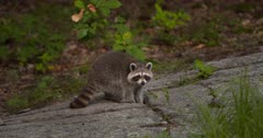 Raccoon eating on rock ledge at dusk