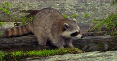 Raccoon search for prey in pool of water