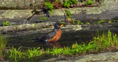 American Robin bathing in pool of water