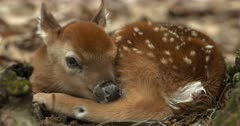 White-tailed deer (whitetail) newborn fawn lying in woods