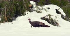 Wild Turkey tom walking in deep snow