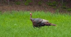 Wild Turkeys Adult tom walking in meadow