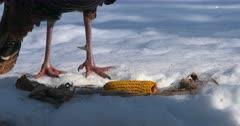 Wild Turkey tom zoom to leg spur