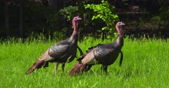 Wild Turkeys Adult toms eating and alert in meadow