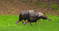 Wild Turkeys Adult toms eating in meadow