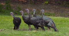 Wild Turkeys group of young tom eating and alert in meadow