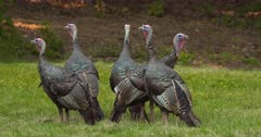 Wild Turkeys group of young toms alert in meadow