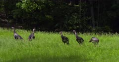 Wild Turkeys Group of young toms eating and alert in meadow