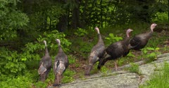 Wild Turkeys Young Toms (jakes) eating in woods