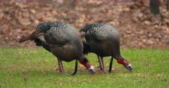 Wild Turkeys Adult tom eating in meadow