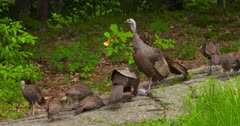 Wild Turkeys hen and poults eating in woods