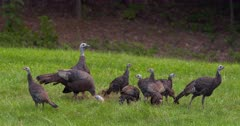 Wild Turkeys hen and older poults eating and alert meadow