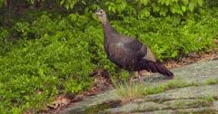 Wild Turkey Adult hen eating & alert in woods