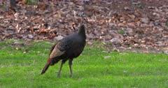 Wild Turkeys Adult hen walking & eating in meadow