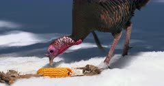Wild Turkey adult tom eating in cornfield winter