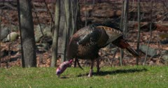 Wild Turkey Adult tom eating and alert in field early spring