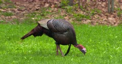 Wild Turkey Adult tom eating in meadow at dawn