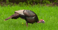 Wild Turkey Adult tom eating and alert in meadow at dawn