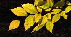 Beech Leaves MS autumn yellow zoom I
