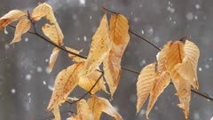 HD Beech Leaves snowing slow motion (180 fps) I