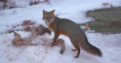 Gray (Grey) fox feeds on whitetail deer carcass II