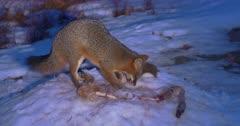 Gray (Grey) fox feeds on whitetail deer carcass night III