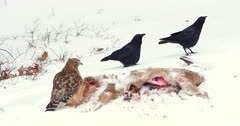 Red -Shouldered Hawk and Crows whitetail deer carcass I