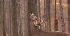 Whitetail deer, buck licks branch at scrape I