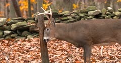 Whitetail deer, buck rubs tree fall color IV