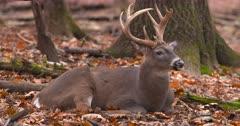 Whitetail deer, buck bedded