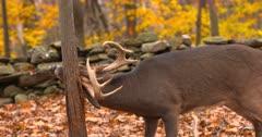 Whitetail deer, buck rubs tree III