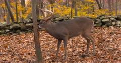 Whitetail deer, buck rubs tree fall colors II