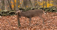 Whitetail deer, buck rubs tree fall colors III