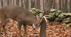 Whitetail deer, buck rubs tree late fall III