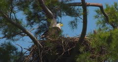 Bald eagle perched on nest