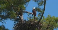 Bald eagle perched above nest