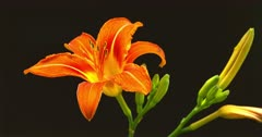 Day Lily (zoom in)