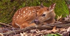White-tailed deer (whitetail) newborn fawn