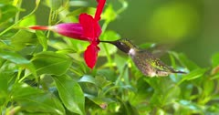 Ruby-Throated Hummingbird drinks nectar at flower
