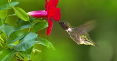 Hummingbird Ruby-Throated drinks nectar at flower