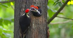 Pileated woodpecker feeding young at nest